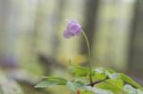 D4_4787F bosanemoon (Anemone nemorosa, Wood anemone).jpg