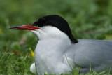 DSC00481F visdiefje (Sterna hirundo, Common Tern).jpg
