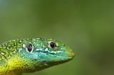 D40_6513F smaragdhagedis (Lacerta bilineata, Western green lizard).jpg