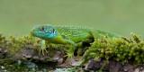 D40_6993F smaragdhagedis (Lacerta bilineata, Western green lizard).jpg