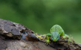 D40_7112F smaragdhagedis (Lacerta bilineata, Western green lizard).jpg