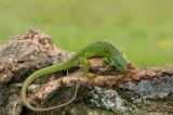 D40_7216F smaragdhagedis (Lacerta bilineata, Western green lizard).jpg