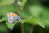 D40_8466F hooibeestje (Coenonympha pamphilus, Small Heath).jpg