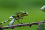 D40_8722F boomkikker (Hyla arborea, European Treefrog).jpg