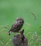 D40_2214F steenuil (Athene noctua, Little Owl).jpg