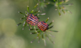 D40_3400F pyjamawants (Graphosoma lineatum).jpg