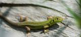 D40_2799F westelijke smaragdhagedis (Lacerta bilineata, female).jpg