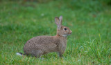 D40_4029F konijn (Oryctolagus cuniculus, Common rabbit).jpg