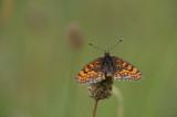 D40_4372F bosparelmoervlinder (Melitaea athalia).jpg