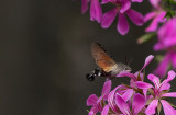 D40_5132F kolibrievlinder (Macroglossum stellatarum, Hummingbird Hawk-moth).jpg