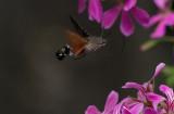 D40_5137F kolibrievlinder (Macroglossum stellatarum, Hummingbird Hawk-moth).jpg