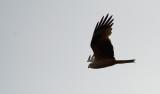 D40_5313F zwarte wouw (Milvus migrant, Black Kite).jpg