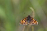 D40_4391F bosparelmoervlinder (Melitaea athalia).jpg