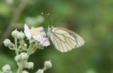 D40_4575F groot geaderd witje (Aporia crataegi, Large veined white).jpg
