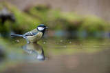 700_1660F koolmees (Parus major, Great Tit).jpg