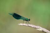 D40_3100F weidebeekjuffer (Calopteryx splendens, Western Demoiselle), male.jpg