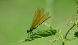 D40_3304F bosbeekjuffer (Calopteryx virgo, Beautiful Demoiselle), female.jpg