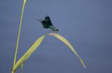 D40_3452F weidebeekjuffer (Calepteryx splendens, Western Demoiselle), male.jpg