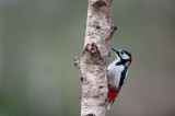 700_1581F grote bonte specht (Dendrocopos major, Great Spotted Woodpecker).jpg