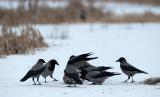 700_0363F bonte kraai (Corvus cornix, Hooded Crow).jpg