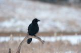 700_0839F raaf (Corvus corax, Northern raven).jpg