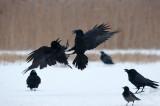 700_0748F raaf (Corvus corax, Northern raven).jpg