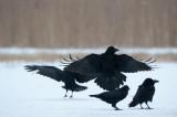 700_0738F raaf (Corvus corax, Northern raven).jpg