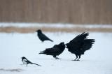 700_0673F-raaf-(Corvus-corax,-Northern-raven).jpg