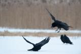 700_0703F raaf (Corvus corax, Northern raven).jpg