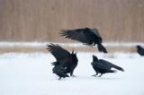 700_0759F raaf (Corvus corax, Northern raven).jpg