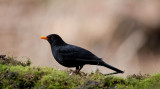 700_1492F merel (Turdus merula, Common Blackbird).jpg