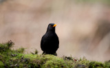 700_1502F merel (Turdus merula, Common Blackbird).jpg