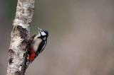 700_1611F grote bonte specht (Dendrocopos major, Great Spotted Woodpecker).jpg