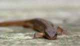 700_2876F kleine watersalamander (Lissotriton vulgaris (synoniem Triturus vulgaris), Smooth Newt).jpg