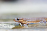 700_2903F kleine watersalamander (Lissotriton vulgaris (synoniem Triturus vulgaris), Smooth Newt).jpg
