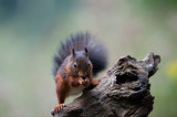 700_3987F rode eekhoorn (Sciurus vulgaris, Red squirrel).jpg