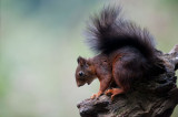 700_3992F rode eekhoorn (Sciurus vulgaris, Red squirrel).jpg