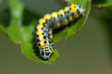 700_5486F rups krakeling, nachtvlinder (Diloba caeruleocephala).jpg