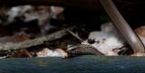 300_4429F hazelworm (Anguis fragilis, Slow worm).jpg
