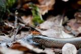 300_4476F hazelworm (Anguis fragilis, Slow worm).jpg