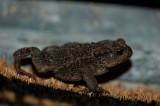 700_5853F gewone pad (Bufo bufo, Common Toad).jpg