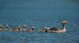 700_6534F grauwe gans (Anser anser, Greylag Goose).jpg
