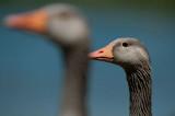 700_6587F grauwe gans (Anser anser, Greylag Goose).jpg
