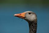 700_6595F grauwe gans (Anser anser, Greylag Goose).jpg