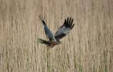 700_5912F bruine kiekendief (Circus aeruginosus, Western Marsh Harrier).jpg