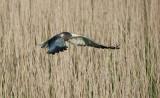 700_5909F bruine kiekendief (Circus aeruginosus, Western Marsh Harrier).jpg