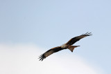 700_8212F rode wouw (Milvus milvus, Red Kite).JPG