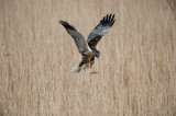 700_4800F bruine kiekendief (Circus aeruginosus, Marsh Harrier).jpg