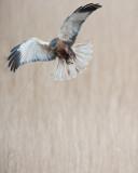 700_4881F bruine kiekendief (Circus aeruginosus, Marsh Harrier).jpg