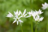 700_4891F daslook (Allium ursinum, Ramsons).jpg